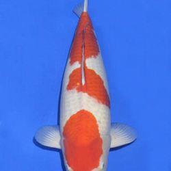Momotaro veiling 14-15 december: afbeelding 22