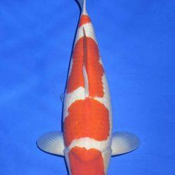 Momotaro veiling 14-15 december: afbeelding 23
