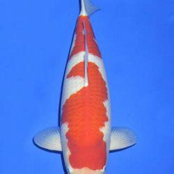 Momotaro veiling 14-15 december: afbeelding 24