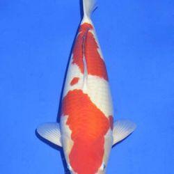 Momotaro veiling 14-15 december: afbeelding 25