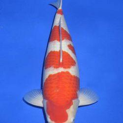 Momotaro veiling 14-15 december: afbeelding 26