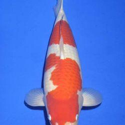 Momotaro veiling 14-15 december: afbeelding 28