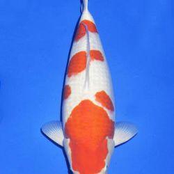 Momotaro veiling 14-15 december: afbeelding 29