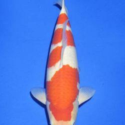 Momotaro veiling 14-15 december: afbeelding 30