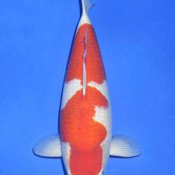 Momotaro veiling 14-15 december: afbeelding 32