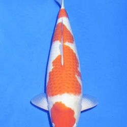 Momotaro veiling 14-15 december: afbeelding 39