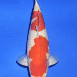 Momotaro veiling 14-15 december: afbeelding 41