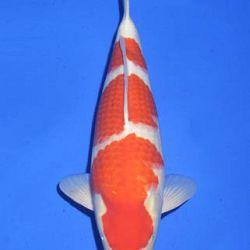 Momotaro veiling 14-15 december: afbeelding 42
