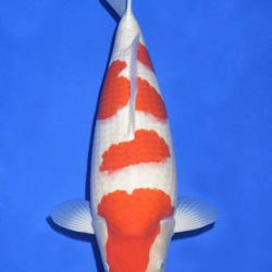 Momotaro veiling 14-15 december: afbeelding 47
