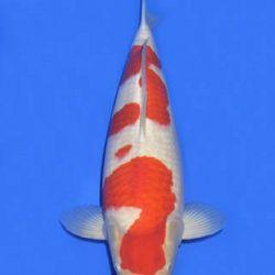 Momotaro veiling 14-15 december: afbeelding 49