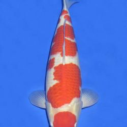 Momotaro veiling 14-15 december: afbeelding 51