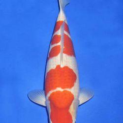 Momotaro veiling 14-15 december: afbeelding 53