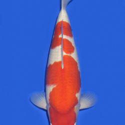 Momotaro veiling 14-15 december: afbeelding 56