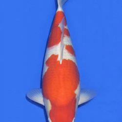 Momotaro veiling 14-15 december: afbeelding 60