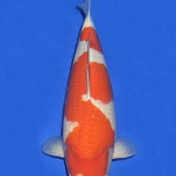Momotaro veiling 14-15 december: afbeelding 63