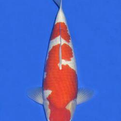 Momotaro veiling 14-15 december: afbeelding 66
