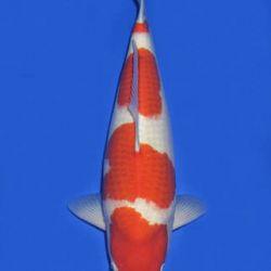 Momotaro veiling 14-15 december: afbeelding 68