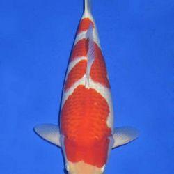 Momotaro veiling 14-15 december: afbeelding 70