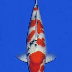 Momotaro veiling 14-15 december: afbeelding 79