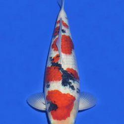 Momotaro veiling 14-15 december: afbeelding 84