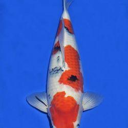 Momotaro veiling 14-15 december: afbeelding 85
