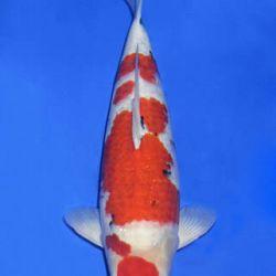 Momotaro veiling 14-15 december: afbeelding 86