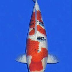 Momotaro veiling 14-15 december: afbeelding 92