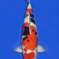 Momotaro veiling 14-15 december: afbeelding 93