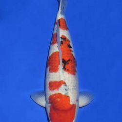 Momotaro veiling 14-15 december: afbeelding 94