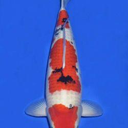 Momotaro veiling 14-15 december: afbeelding 95