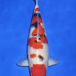 Momotaro veiling 14-15 december: afbeelding 98