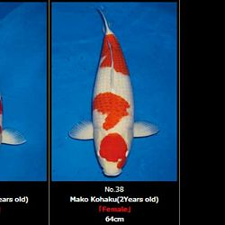 Momotaro veiling 19-20 februari - Vrouwelijke Kohaku: afbeelding 7