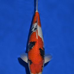 Onze keuze tosai Momotaro veiling: afbeelding 10