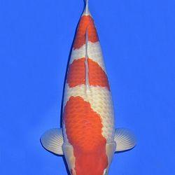Onze keuze van de veilingvissen: afbeelding 7