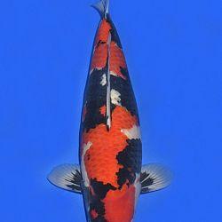 Onze keuze van de veilingvissen: afbeelding 8