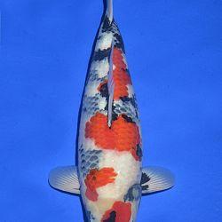 Onze keuze van de veilingvissen: afbeelding 12