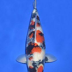 Onze keuze van de veilingvissen: afbeelding 14
