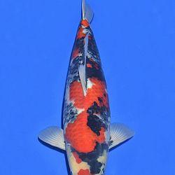 Onze keuze van de veilingvissen: afbeelding 15