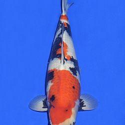 Onze keuze van de veilingvissen: afbeelding 16