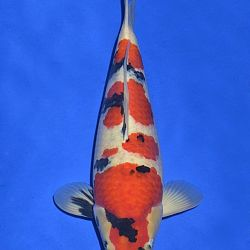 Onze keuze van de veilingvissen: afbeelding 18