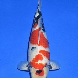 Onze keuze van de veilingvissen: afbeelding 21