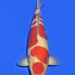 Onze keuze van de veilingvissen: afbeelding 26