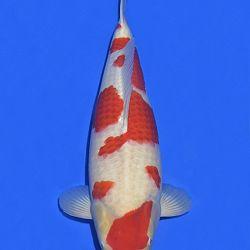 Onze keuze van de veilingvissen: afbeelding 27