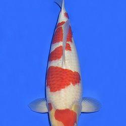 Onze keuze van de veilingvissen: afbeelding 29