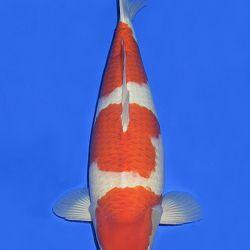 Onze keuze van de veilingvissen: afbeelding 30