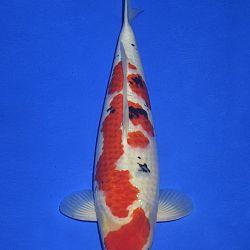 Onze keuze van de veilingvissen: afbeelding 34