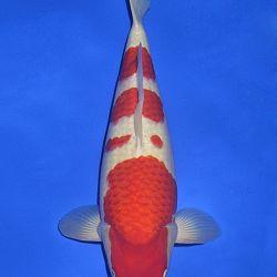 Onze keuze van de veilingvissen: afbeelding 35