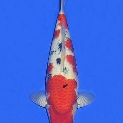 Onze keuze van de veilingvissen: afbeelding 36