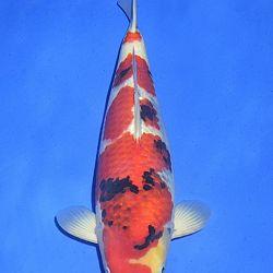 Onze keuze van de veilingvissen: afbeelding 39
