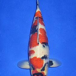 Onze keuze van de veilingvissen: afbeelding 40